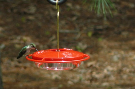 My first backyard ruby-throated hummingbird of the season, spotted April 19.